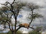 Snídající leopard