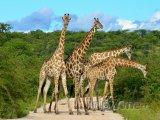 Žirafy na cestě