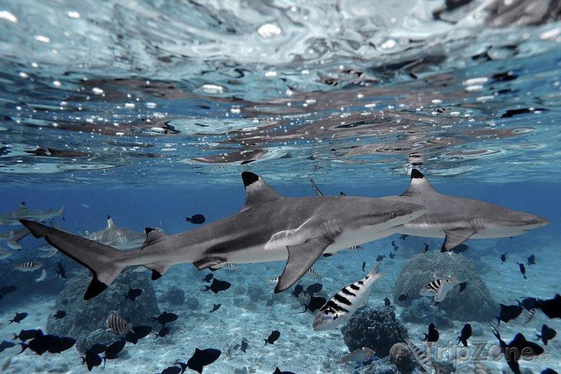 Fotka, Foto Žraloci u ostrova Moorea (Francouzská Polynésie)