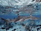 Žraloci u ostrova Moorea