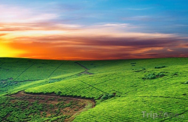 Fotka, Foto Čajová plantáž v Ugandě (Uganda)
