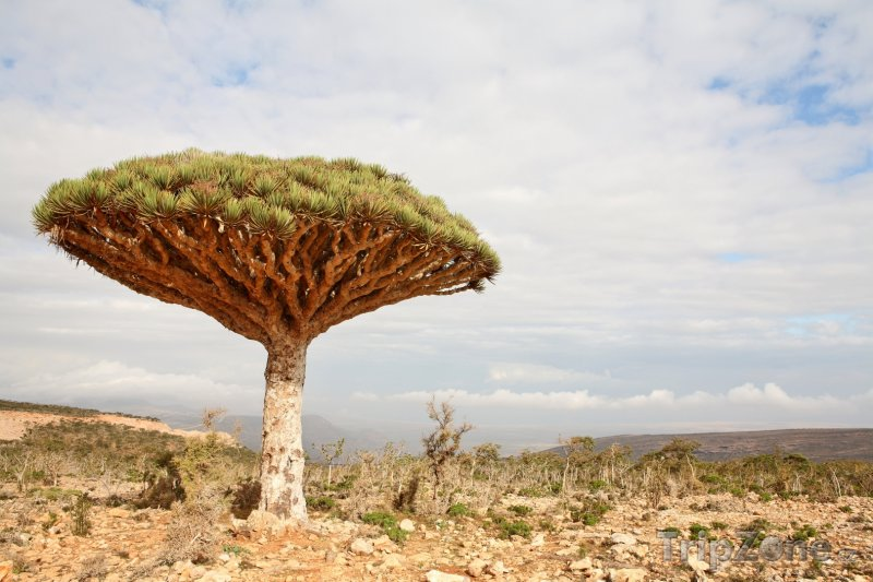 Fotka, Foto Dracaena cinnabari, Dračí strom (Jemen)