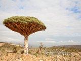 Dracaena cinnabari, Dračí strom