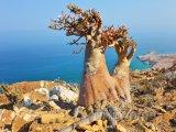 Dračí strom na útesu ostrova Socotra