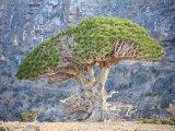 Dračí strom u skály