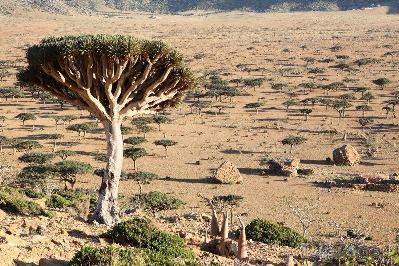 Fotka, Foto Dračí stromy v poušti (Jemen)