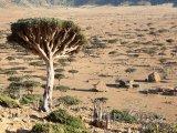 Dračí stromy v poušti