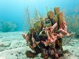 Korál u pobřeží Roatánu