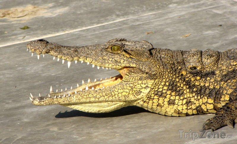 Fotka, Foto Krokodýl v Maun Education Park (Botswana)