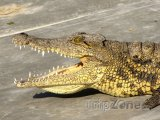 Krokodýl v Maun Education Park