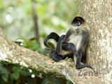 Pavoučí opice