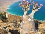 Rostlina Adenium obesum na ostrově Socotra