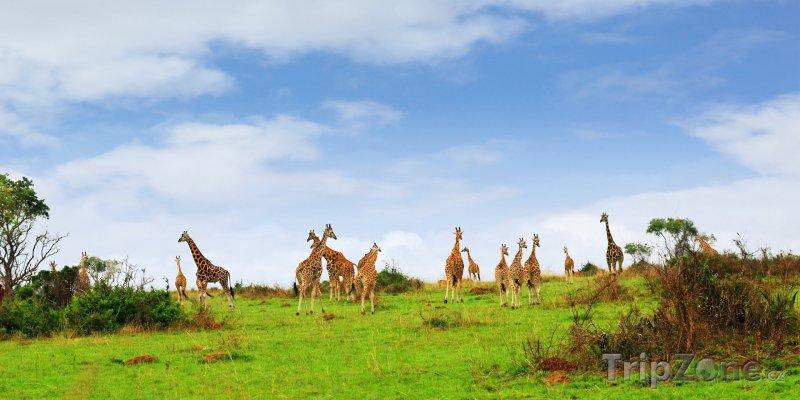 Fotka, Foto Žirafy (Uganda)