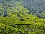 Čajové plantáže u města Munnar