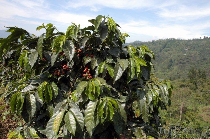 Fotka, Foto Kávovník (Guatemala)