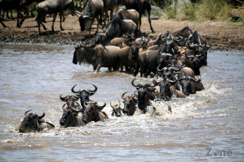 Fotka, Foto Migrace pakoňů v rezervaci Masai Mara (Keňa)