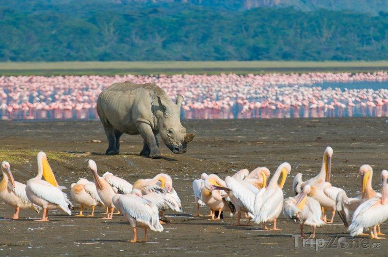 Fotka, Foto Nosorožec v národním parku Nakuru (Keňa)