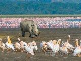 Nosorožec v národním parku Nakuru