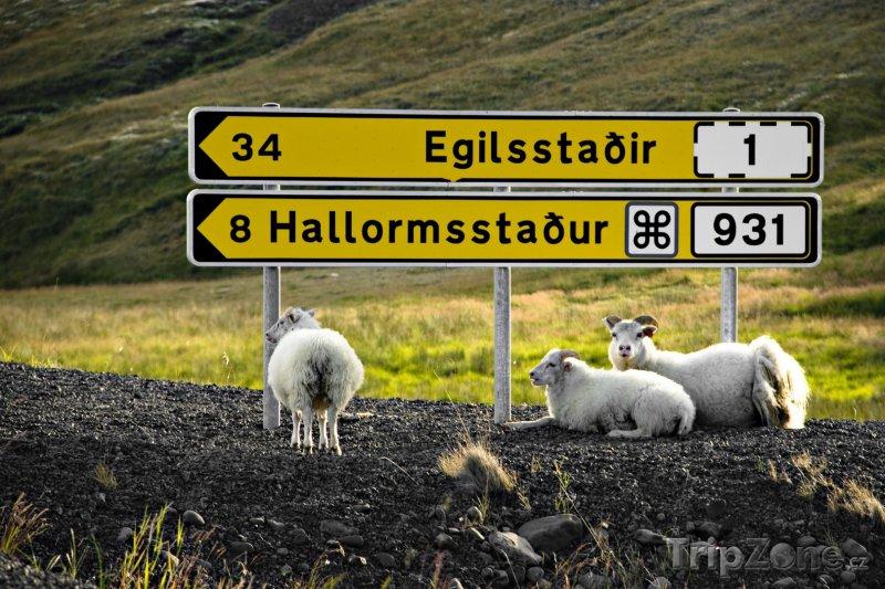Fotka, Foto Odpočívající ovce u cedulí (Island)