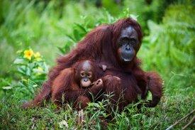 Orangutáni na Borneu