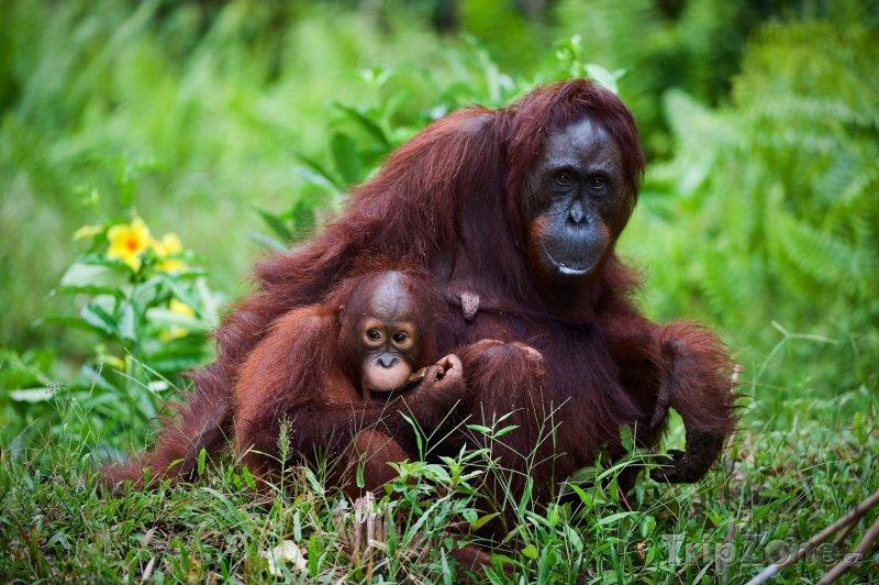 Fotka, Foto Orangutáni na Borneu (Indonésie)