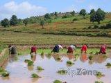 Práce na rýžovém poli u města Kalaw