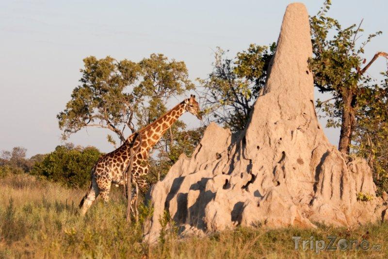 Fotka, Foto Žirafa u termitiště (Botswana)
