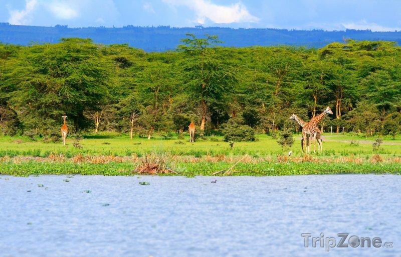 Fotka, Foto Žirafy u jezera Naivasha (Keňa)