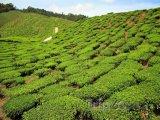 Čajová farma