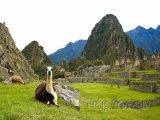 Lamy na Machu Picchu