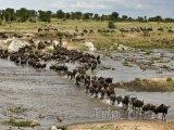 Národní park Serengeti, velká migrace pakoňů