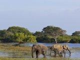 Národní park Yala, sloni v močále