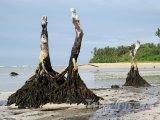 Palmové kmeny na ostrově Upolu