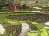 Rýžová pole