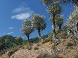 Samos, olivovníky