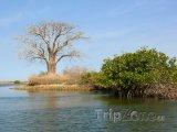 Strom Baobab v deltě řeky Saloum