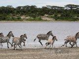 Zebry v národním parku Serengeti