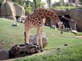 Žirafy v bio parku