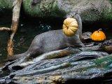 Dýně mají rády i vydry, foto: Petr Hermeník, Zoo Praha
